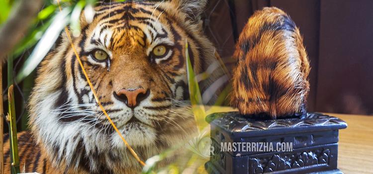Cara Membedakan Kantong Macan Asli Dan Palsu