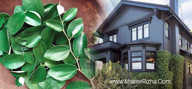 cara ruqyah rumah dengan daun bidara
